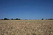 Wheat field on agricultural farmland in Middle Littleton, United Kingdom.