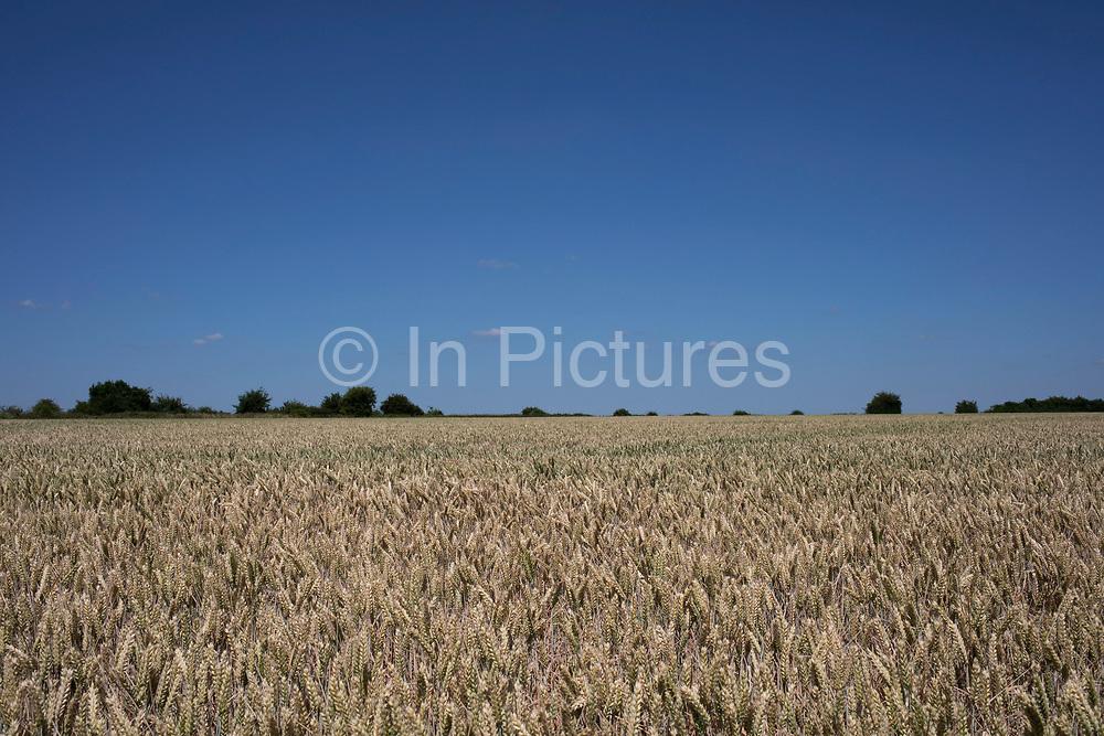 Wheat field on agricultural farmland in Middle Littleton, United Kingdom.