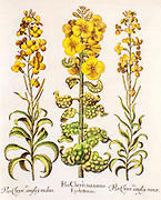 hand painted Hortus Eystettensis (wallflower) from Hortus Eystettensis, a codex produced by Basilius Besler in 1613 of the garden of the bishop of Eichstätt in Bavaria.