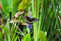 A rather ragged late-summer Palamedes swallowtail feed on on pickerelweed nectar in a pond at St. Marks National Wildlife Refuge on the Florida's northern Gulf Coast.