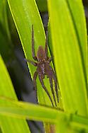Fen Raft Spider - Dolomedes plantarius - unstriped adult female