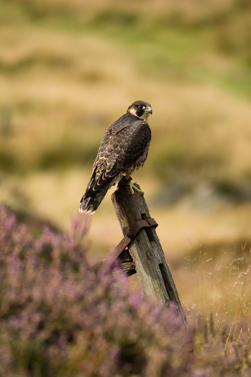 Peregrine Falcon in the moorland, Leicestershire.