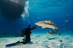 Lemon Sharks, Negaprion brevirostris, and woman scuba diver, West End, Grand Bahama, Atlantic Ocean.