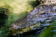 Crocodile in water with a scary eye. Vietnam, Asia