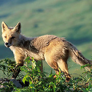 Red Fox, (Vulpus fulva) Adult on Aleutian Islands, Alaska.