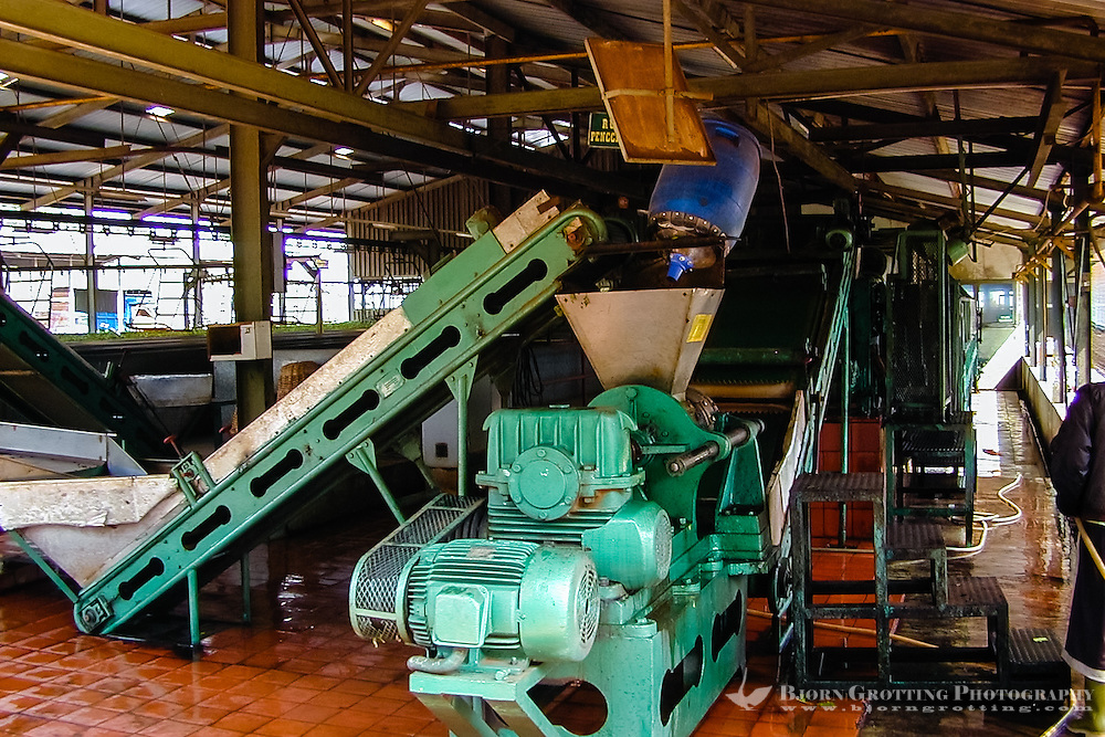 Indonesia, Java, Cisarua. Drying process. The tealeafs are fed through a machine in order to extract as much water as possible.