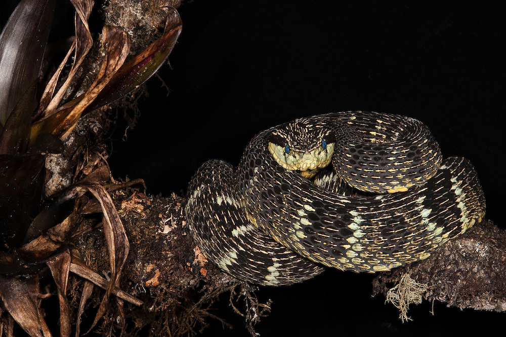 Andean Forest Pitviper (Bothriopsis pulchra)<br /> ECUADOR. South America<br /> Venomous pitviper. <br /> RANGE: Eastern slopes of the Andes from south-central Colombia to southern Ecuador and northern Peru.