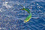 Colorful jumping Dolphin.