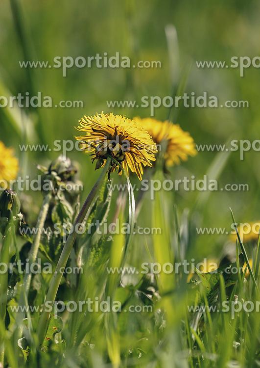 THEMENBILD - Detailaufnahme eines blühenden Löwenzahn, aufgenommen am 02. Mai 2019, Kaprun, Österreich // Detail view of a flowering dandelion on 2019/05/02, Kaprun, Austria. EXPA Pictures © 2019, PhotoCredit: EXPA/ Stefanie Oberhauser
