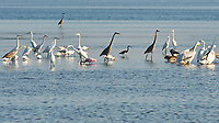 Little Blue Heron, Great Blue Heron, Great Egret, White Ibis, Brown Pelican, American White Pelican, Roseate Spoonbill. Fort De Soto Park. Pinellas County, Florida. Image taken with a Nikon D2xs camera and 80-400 mm VR lens.