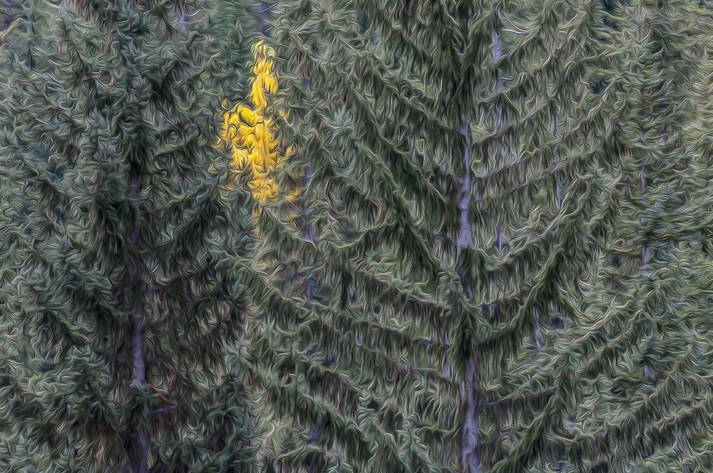 Northern black cottonwood (Populus trichocarpa, and conifer trees, October, overcast light, North Cascades National Park, Okanogan County, Washington, USA