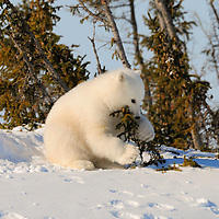 This three-month-old polar bear cub is playing outside the den in Wapusk National Pakr south of Churchill Manitoba Canada near the Hudson Bay.
