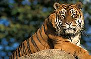 Sumatran Tiger, Panthera tigris, captive, sitting on rock, majestic