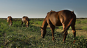Horses grazng in open pasture in northeast New Mexico