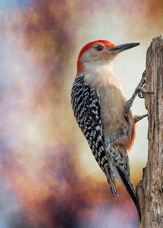 A Male Red-Bellied Woodpecker On A Textured Backdrop