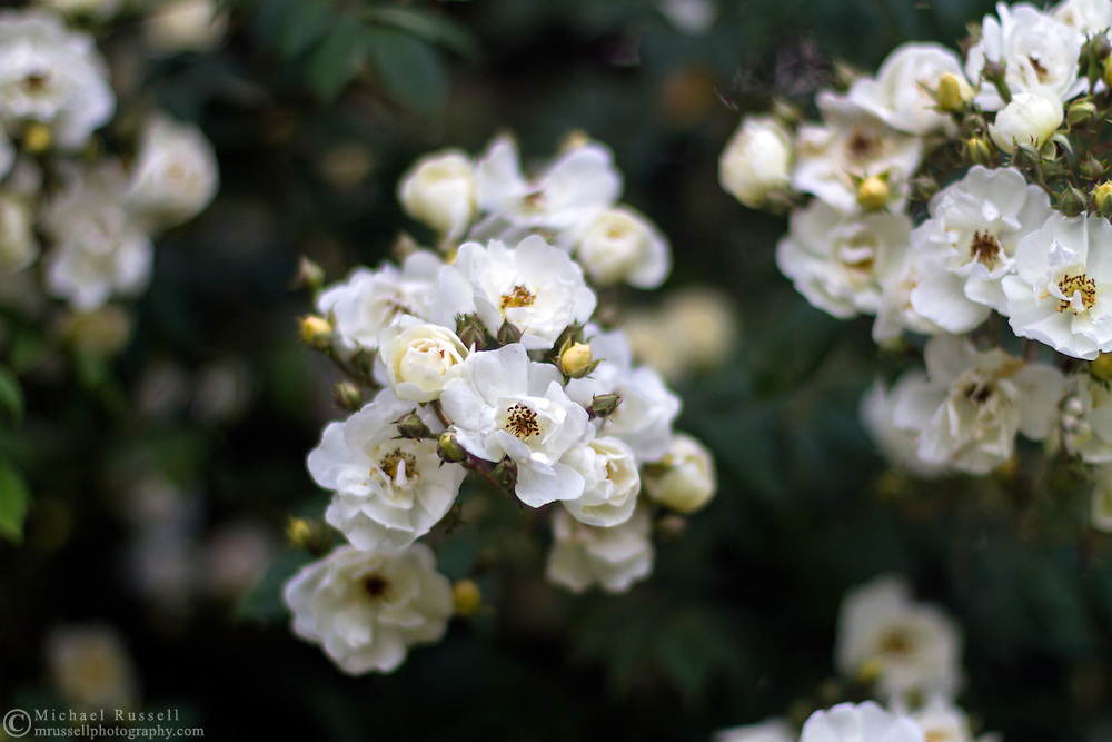 Groups of flowers on a Rambler Rose (Seagull) in a backyard garden