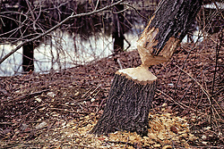 Tree Worked On By Beaver