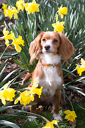 © Licensed to London News Pictures. 16/03/2018. Greenwich, UK. Cute 11 month old Cockapoo Pip plays in daffodils in Greenwich in sunny, warm weather today ahead of predicted drop in temperatures and snow over the weekend. Photo credit : Rob Powell/LNP