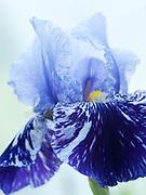 Iris 'Millenium Falcon' - tall bearded iris
