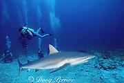 divers observe a Caribbean reef shark, Carcharhinus perezi, at Shark Rodeo, Walker's Cay, Abaco Islands, Bahamas ( Western Atlantic Ocean )