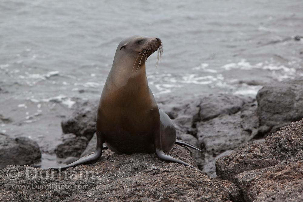 A young A young galapagos sea lion (Zalophus californianus) on South Plaza Island, Galapagos archipelago - Ecuador. on South Plaza Island, Galapagos archipelago - Ecuador.