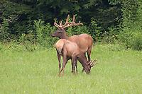 Two reintroduced elk flourish in the Smoky Mountains.