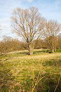 Willow trees in winter growing in wetland meadow, Shottisham, Suffolk, England