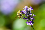A BumbleBee (Bombus mixtus) collecting nectar and pollen on a Lavender flower (Lavendula sp.)