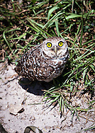 A burrowing owl in a park in Broward County, Florida. WATERMARKS WILL NOT APPEAR ON PRINTS OR LICENSED IMAGES.