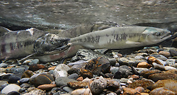 A female chum salmon (Oncorhynchus keta), right, and a male chum salmon (left) make their way up the special spawning channel of Herman Creek during the fall chum salmon run. The injuries of the male salmon were possibly inflicted by a bear hoping to make a meal of the fish.<br /> <br /> These chum salmon are returning to freshwater Herman Creek near Haines, Alaska after three to five years in the saltwater ocean. Spawning only once, chum salmon begin to deteriorate and die approximately two weeks after they spawn. Both sexes of adult chum salmon change colors and appearance upon returning to freshwater. Unlike male sockeye salmon which turn bright red for spawning, male chum salmon change color to an olive green with purple and green vertical stripes. These vertical stripes are not as noticeable in females, who also have a dark horizontal band. Both male and female chum salmon develop hooked snout (type) and large canine teeth. These features in female salmon are less pronounced. <br /> <br /> Herman Creek is a tributary of the Klehini River and is only 10 miles downstream of the area currently being explored as a potential site of a copper and zinc mine. The exploration is being conducted by Constantine Metal Resources Ltd. of Vancouver, B.C. along with investment partner Dowa Metals & Mining Co., Ltd. of Japan. Some local residents and environmental groups are concerned that a mine might threaten the area's salmon. Of particular concern is copper and other heavy metals, found in mine waste, leaching into the Klehini River and the Chilkat River further downstream. Copper and heavy metals are toxic to salmon and bald eagles.<br /> <br /> Chilkat River and Klehini River chum salmon are the primary food source for one of the largest gatherings of bald eagles in the world. Each fall, bald eagles congregate in the Alaska Chilkat Bald Eagle Preserve, located only three miles downriver from the area of current exploration.