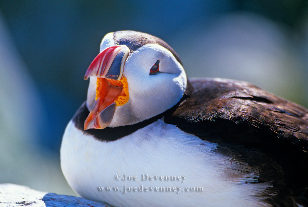 Atlantic Puffin (Fratercula arctica) with an open beak sitting on a rock. Machias Seal Island, Maine