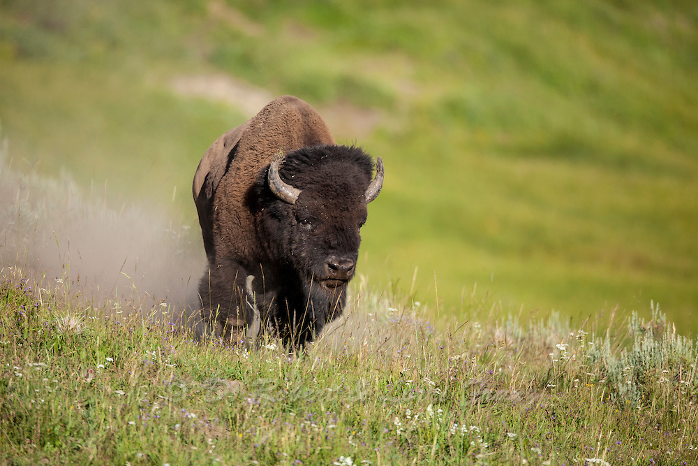 Bull bison during the rut in Yellowstone National Park