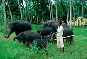 Man looking after baby elephants at an elephant orphanage near Kandy in Sri Lanka