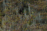 Moss and lichens, fall colours in the humid montane mixed forest, Laba He National Nature Reserve, Sichuan, China