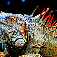 Orange Caribbean Iguana close up. Look at those colors!<br /> <br /> Please select Shopping Cart Below to Purchase prints and gallery-wrapped canvases, magnets, t-shirts and other accessories