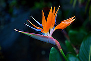 Bird Of Paradise, Hawaii