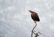 White tailed sea eagle perching, calling to it's mate