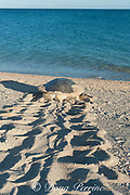 Australian flatback sea turtle (Natator depressus), endemic to Australia and southern New Guinea, female returning to sea after laying eggs in nest in beach dunes, Western Australia ( Indian Ocean )