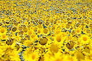 field with sunflowers in South France Languedoc