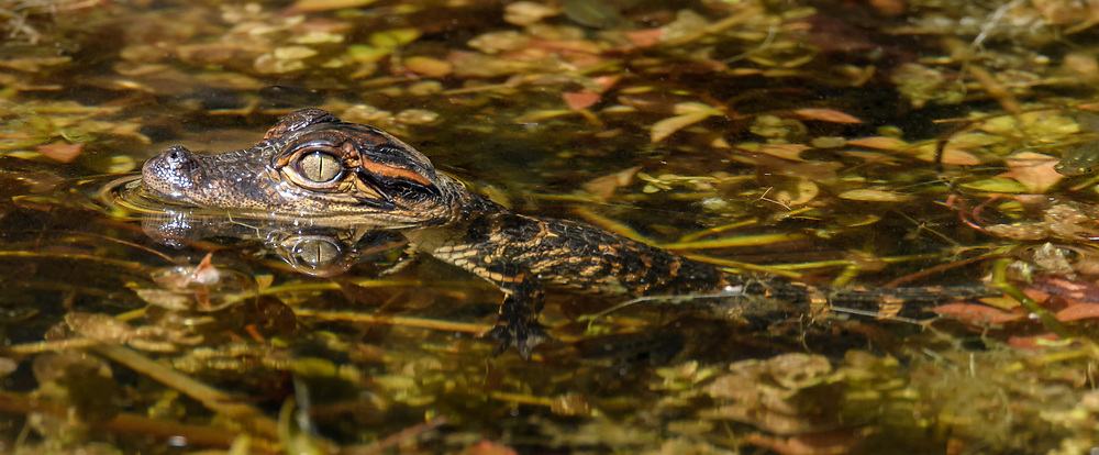 Baby alligator floating in shallow water with aquatic vegetation, alert. Big Cypress National Preserve, Florida, © David A. Ponton