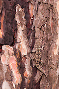 Kotschy's gecko (Cyrtopodion kotschyi) Camouflaged on a tree trunk Photographed in Israel in December