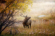 Bull elk bugling amongst the autumn colors of the Rockies