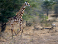 Giraffe on the move in Kruger NP, South Africa