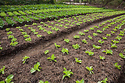Ribeirao das Neves_MG, Brasil...Cultivo de hortalicas em Riberao das Neves...Vegetables cultivation in Ribeirao das Neves...Foto: LEO DRUMOND / NITRO.