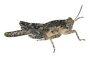 Cepero's Groundhopper - Tetrix ceperoi