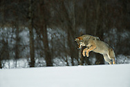 Eurasian Wolf, Canis lupus, Toropets, Russia, hunting mice or voles through the snow, controlled conditions