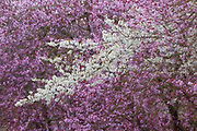 White and lavender blossoms blend together from several trees in later winter in Lynnwood, Washington.