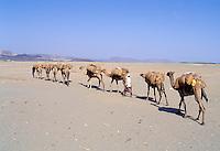 Erythrea, Dankalie, Badda, plaine du sel, caravanne de sel // Salt caravan, Salt plain, Badda, Dankalie province, Eritrea