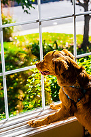 An Australian Shepherd/Golden Retriever mix Puppy looking out the window, Littleton, Colorado USA.