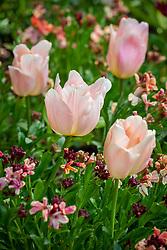Tulipa 'Apricot Beauty' with Erysimum cheiri 'Sunset Apricot' - wallflower